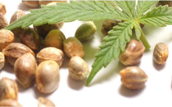 semi cannabis - Una panoramica sulla normativa dei semi di cannabis